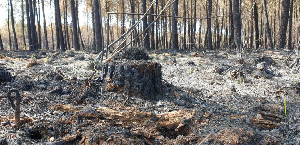 Photographie de la fprêt détruite incendie avensan